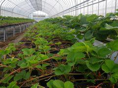 [写真]順調に育っているイチゴの苗の様子