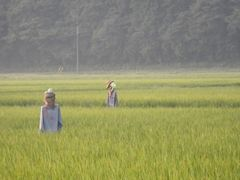 [写真]隣の田んぼで働くカカシ達