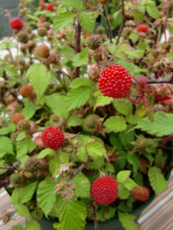 110512raspberry4