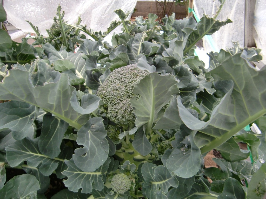 130106broccoli