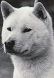 The 紀州犬