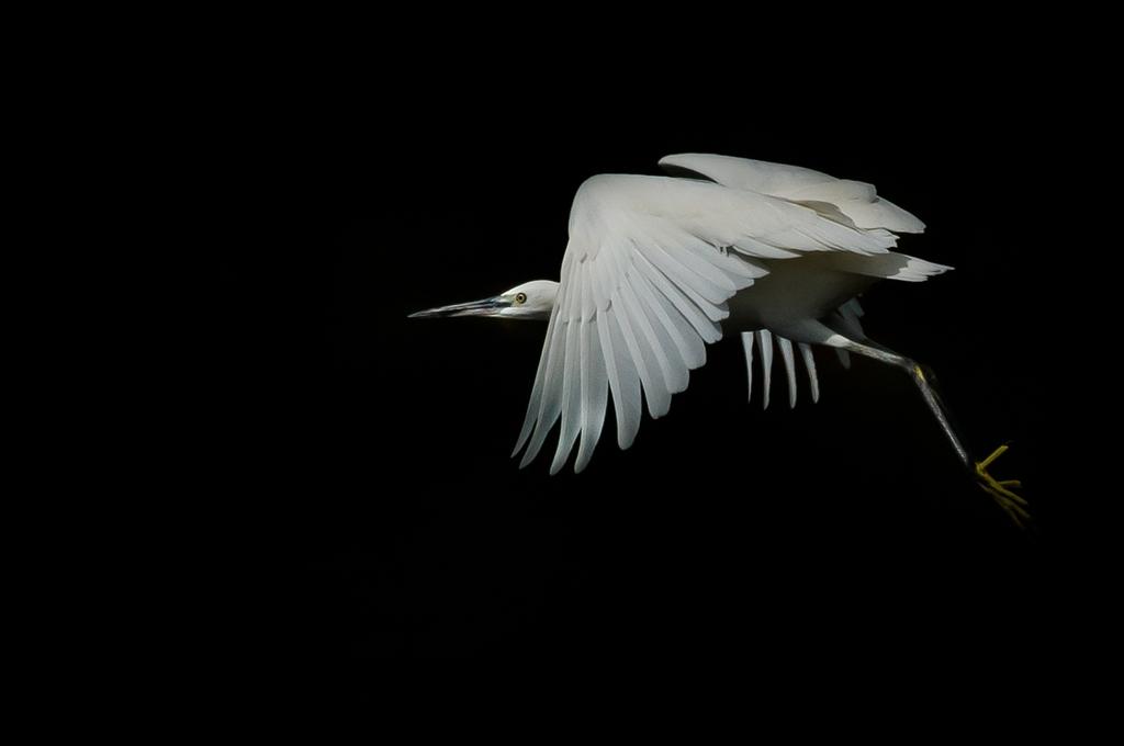 コサギさんの飛翔 (3Pic)