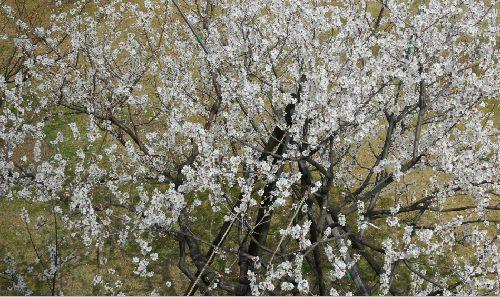 アーモンドの樹